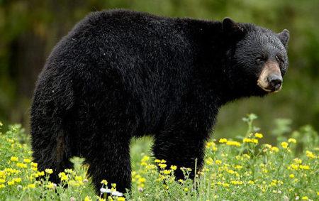Black_bear